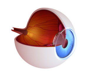 Eye Anatomy with Retina and Macula